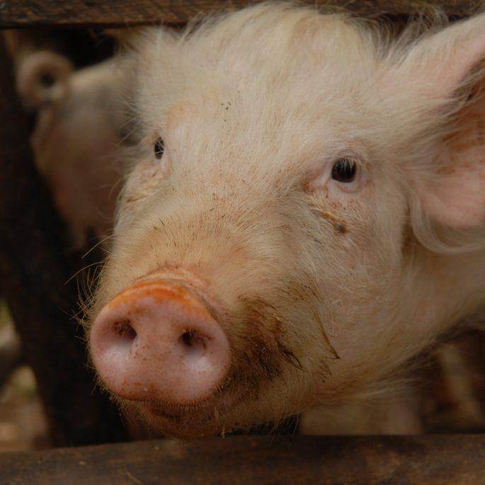 Uganda Schwein Nahaufnahme